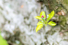 Little red apple tree bud on spring morning Royalty Free Stock Images