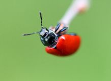 Little red beetle Royalty Free Stock Photo