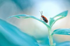 Little red beetle standing in the top of grass. With beautiful dreamy blue background Stock Image