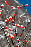 Little red berried. Covered by snow Stock Photography