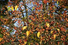 Red dots and yellow leaves. Little red berries and yellow leaves tell us that autumn had started Royalty Free Stock Photography