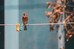 Little red bird posing on a clothesline royalty free stock photo