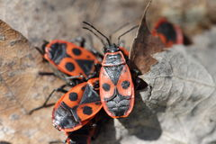 Little red bug in the forest, Pyrrhocoris apterus Stock Image