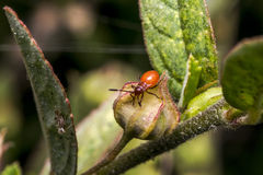 Little red bug on a leaf Stock Images