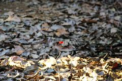Little red butterfly standing in Siem Reap, Camiabod stock photo