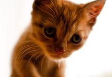 Cat closeup on white background royalty free stock photo