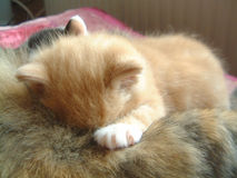Little red cat drinking and sleeping. Little red kitten, 5 weeks old is fallen asleep when drinking with his mother Royalty Free Stock Photos