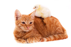 Little red cat and little chick. Little chick lying on a red cat Royalty Free Stock Photography