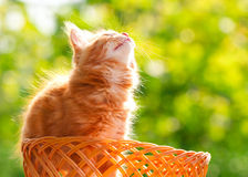Little red cat in a wicker basket on green background outdoors Stock Images
