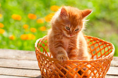 Little red cat in a wicker basket on green background outdoors Royalty Free Stock Image