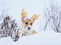 Little red corgi puppy sits in winter park in the snow clad in Christmas reindeer. Funny little red corgi puppy sits in winter park in the snow clad in Christmas royalty free stock photography