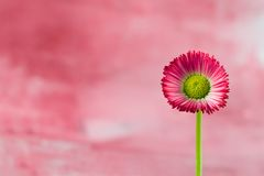 Little red daisy flower Stock Photography