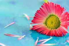 Little red daisy flower Royalty Free Stock Image
