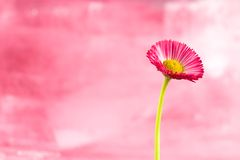 Little red daisy flower Royalty Free Stock Photography