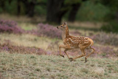 Little Red Deer Stock Photo