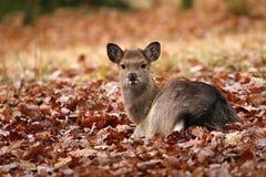 Little red deer Cervus nippon Royalty Free Stock Photo