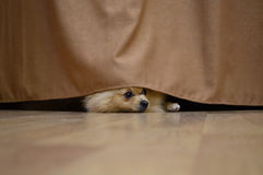 Little red dog is hiding behind the curtain. Spitz dog peeking out from under the curtains royalty free stock images
