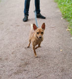 Little red dog on leash Royalty Free Stock Photography