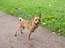 Little red dog on leash on garden path Stock Photography