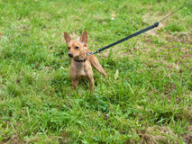 Little red dog on leash on green Royalty Free Stock Images