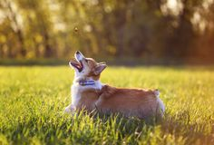 Red dog puppy Corgi fun running on a green meadow and jumping over a flying butterfly in a summer meadow in the grass