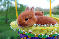 Little red easter bunny in a basket on green lawn Royalty Free Stock Photography