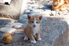 Little red England lop-eared kitten Stock Image