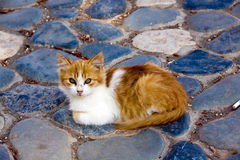 Little red England lop-eared kitten Royalty Free Stock Images