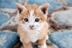 Little red England lop-eared kitten Stock Photos