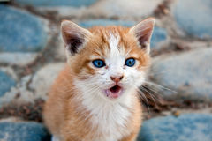 Little red England lop-eared kitten Stock Images