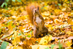 Little red eurasian squirrel Stock Images