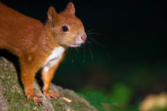 Little red eurasian squirrel Royalty Free Stock Photography