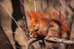 Little red eurasian squirrel Royalty Free Stock Images