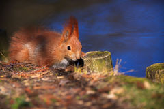 Little red eurasian squirrel Royalty Free Stock Photos