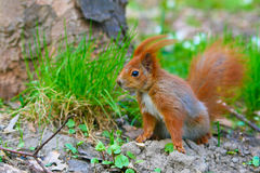 Little red eurasian squirrel Stock Image