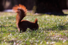 Little red eurasian squirrel Stock Photos