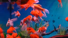 Little red fish in aquarium stock video footage