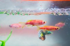 Little red fish with green plant in fish tank or aquarium underw. Ater life concept Stock Photos