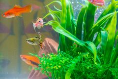 Little red fish with green plant in fish tank or aquarium underw. Ater life concept Stock Photo
