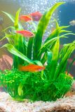 Little red fish with green plant in fish tank or aquarium underw. Ater life concept Stock Image