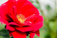 Little red flower, closeup shot Royalty Free Stock Photo