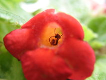 Little red flower. Small red flower with a black pistil inside and green background Stock Images