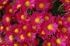 Little red flowers of chrysanthemum Royalty Free Stock Photography