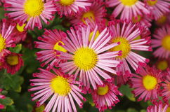 Little red flowers of chrysanthemum Royalty Free Stock Image