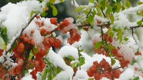 Little red flowers freeze under the snow. Little red flowers on a tree freeze under snow during a snowfall stock footage