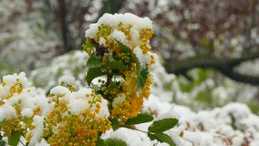 Little red flowers on a tree freeze under snow during a snowfall. Yellow flowering on a tree covered with snow during a snowfall stock video footage