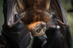 Little Red Flying Fox Bat. Angelita, a non-releasable Little Red Flying Fox being cared for at a wildlife hospital in Kuranda, Queensland, enjoys the afternoon Stock Image