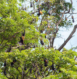 Little red flying fox colony Royalty Free Stock Photography