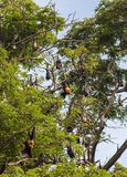 Little red flying fox colony Stock Image