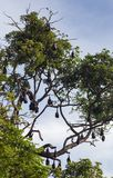 Little red flying fox colony Royalty Free Stock Photo